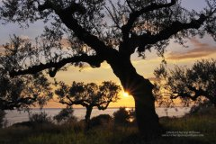 Graphic image of olive trees silhouetted against setting sun