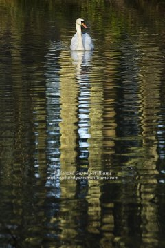 Mute swan amidst a pattern of reflections on water