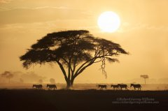 Zebra and acacia tree silhouetted against African sunset
