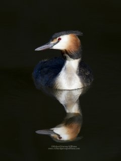 Great crested grebe with reflection in water