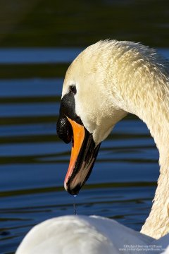 Detailed photograph of a mute swan
