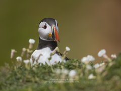 Characterful portrait of a puffin