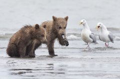 Cute grizzly bear babies eating clams