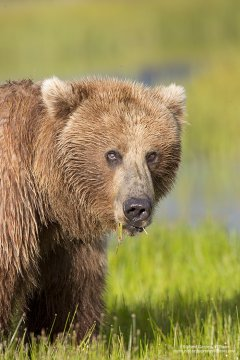 Grizzly bear sow grazing in Lake Clark National Park
