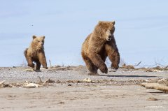 Action photograph of grizzly bear and cub running