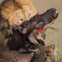 Male lion with kill in Mara