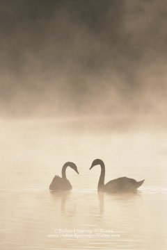 Pair of swans on misty lake