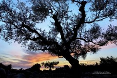 Silhouette of an olive tree at dusk