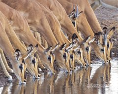 Line of impala drinking in Namibia