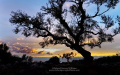 Fine art photo of silhouette of olive tree