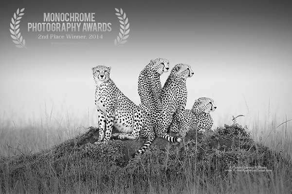 Black and white photograph of cheetahs in Africa